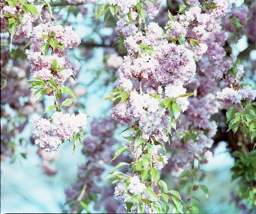 Kirschblüte als großformatiges Bild erhältlich (ab 2x2 Meter)