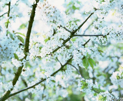 Kirschblüte im Oberbergischen