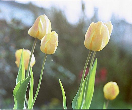 Die ersten Tulpen des Frühjahres
