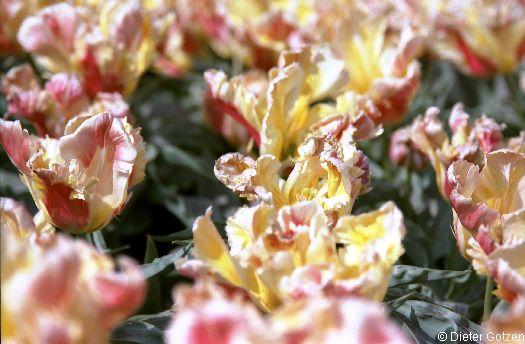 Schloss Dyck Tulpengarten Frühjahr
