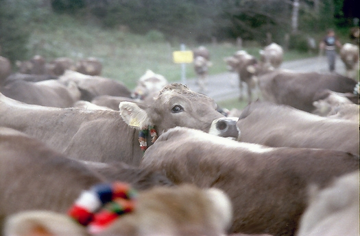 Viehscheid in Bad Hindelang / Allgäu